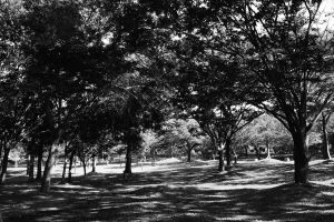大仙公園の木③